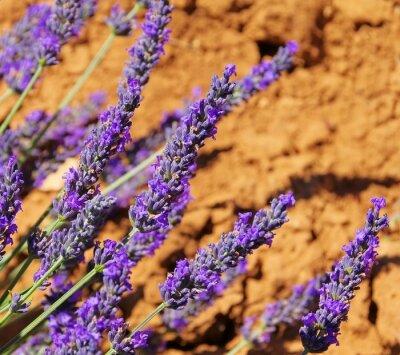 Fototapeta Lavendel - lawenda 114