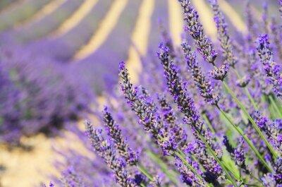 Fototapeta Lavendel - lawenda 134