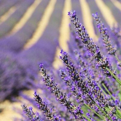 Fototapeta Lavendel - lawenda 136