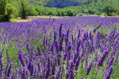 Fototapeta Lavendelfeld - Lawendowe pole 106