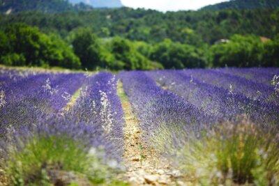 Fototapeta Lavender field
