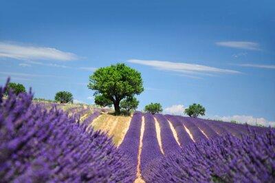 Fototapeta Lavender field. Płaskowyżu Valensole w Prowansji