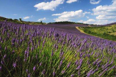 Fototapeta Lavender field. Provence, Francja