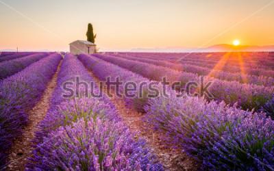 Fototapeta Lavender in the field