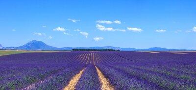 Fototapeta Lavender kwiat kwitnący pól i wierszy drzew . Valensole, Proven