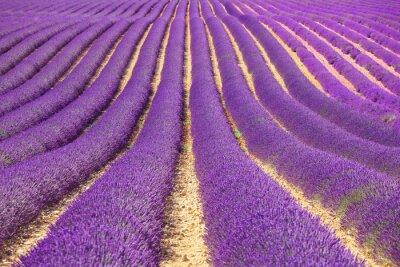 Fototapeta Lavender kwiat kwitnący pola jako wzór lub teksturę. Provence ,