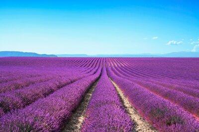 Fototapeta Lavender kwiat kwitnący pola na zachód słońca. Valensole provence