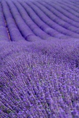 Fototapeta Lavender pola w pobliżu Valensole w Provence, Francja
