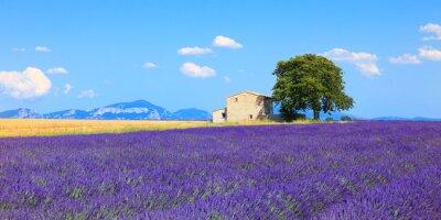 Fototapeta Lawenda kwiaty kwitnące pola, dom i drzewa. Provence, Franc