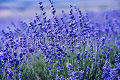 Fototapeta Lawenda kwiaty - zachód słońca nad latem purpurowe pole lawendy.