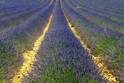 Fototapeta Lawendowe pole, Provence, Francja