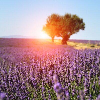 Fototapeta Lawendowe pole w Prowansji, Francja