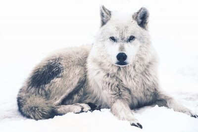 Fototapeta Laying Arctic Wolf