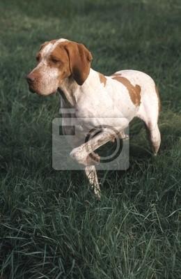 Fototapeta le Braque de l'Ariege qui se ballade dans le jardin