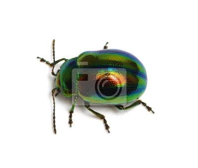 Leaf beetle Chrysolina graminis