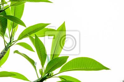 lei zielony liść na białym tle