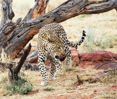 Fototapeta Leopard w buszu