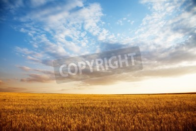 Fototapeta Letni krajobraz - pola pszenicy w suset