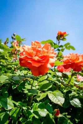 Fototapeta Leuchtende Rosenblüten einer Buschrose im Sonnenschein