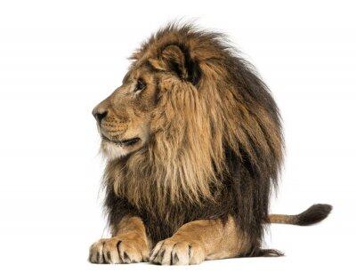 Fototapeta Lew leżący, patrząc od hotelu, Panthera Leo, 10 lat, samodzielnie