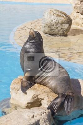 Lew morski odpoczynku