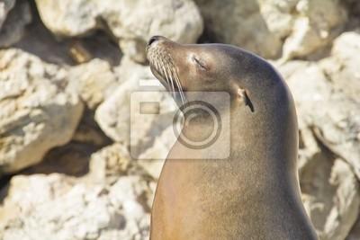 Lew morski opalania