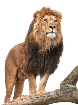 Fototapeta Lew (Panthera leo)