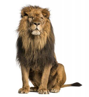 Fototapeta Lew siedzi, patrząc od hotelu, Panthera Leo, 10 lat, samodzielnie