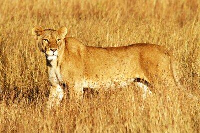 Fototapeta Lew w Masai Mara w Afryce