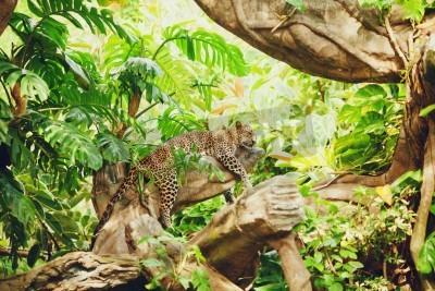 Fototapeta Leżąc (sypialnia) lampart na gałęzi drzewa. W lesie (dżungla)