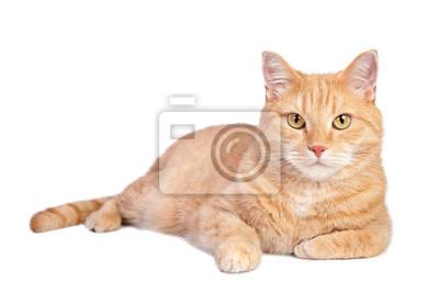 Fototapeta Łgarski tabby imbirowy kot odizolowywający na białym tle.