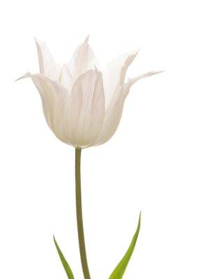 Fototapeta Liliowce delikatny biały tulipan
