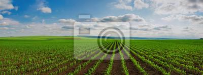 Fototapeta Linie młodych pędów kukurydzy na duże pole