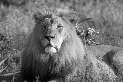 Fototapeta lion odpoczynku