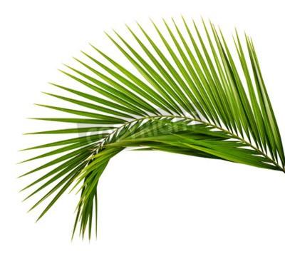 Fototapeta liść palmowy