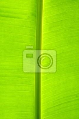 Fototapeta liść palmy bananów