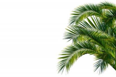 Fototapeta Liści palmowych, palma wydany na białym tle