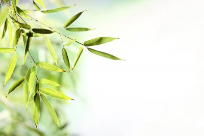 Fototapeta liście bambusa