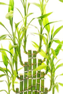 Fototapeta Liście bambusa samodzielnie na białym tle