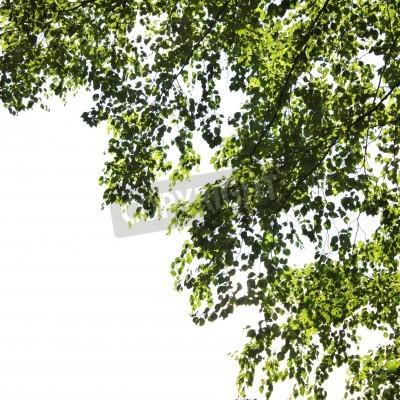 Fototapeta Liście z drzewa brzozowego
