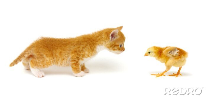 Fototapeta Little beautiful funny kitten and chick