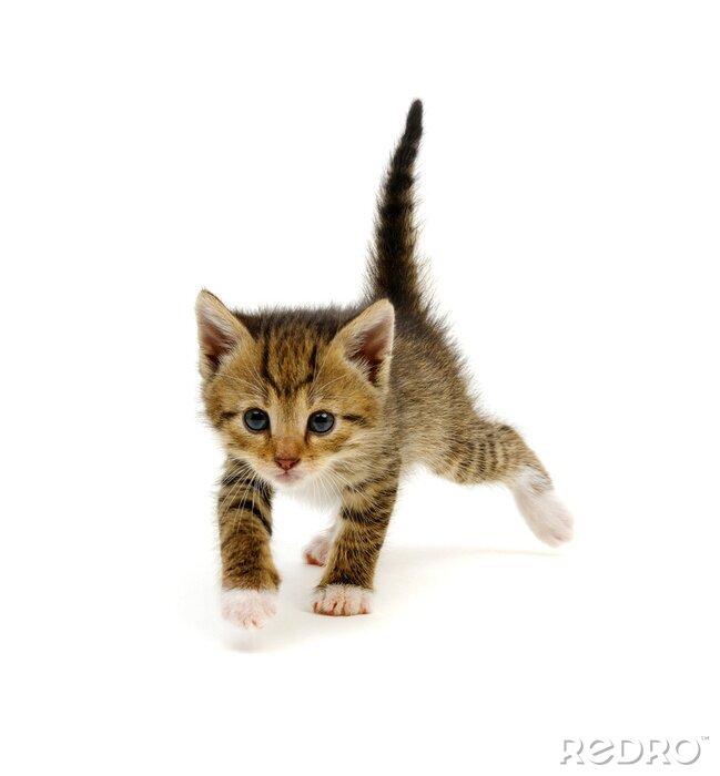 Fototapeta Little beautiful funny kitten on white