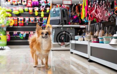 Fototapeta Little cute puppy walking in pet shop