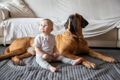 Fototapeta Little girl playing with big dog in home living room in white color. Dog is fila brasileiro breed. The concept of lifestyle, childhood, upbringing and family