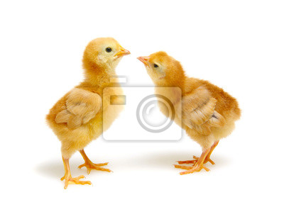 little newborn chickens isolated on white background