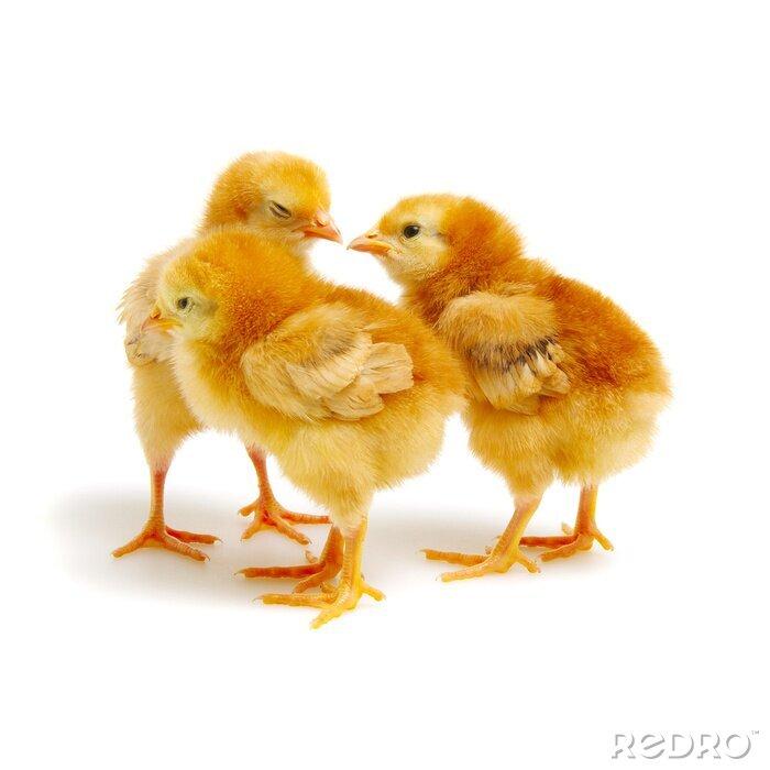 Fototapeta  little newborn chickens isolated on white background