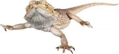 Fototapeta Lizard, Iguana, Desert.