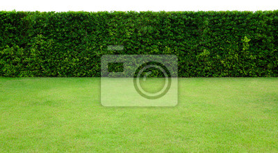 Fototapeta Long tree hedge and green grass lawn. The upper part isolated on white background.