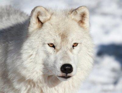 Fototapeta Loup arctique jak lód