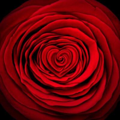 Fototapeta Love Rose Concept